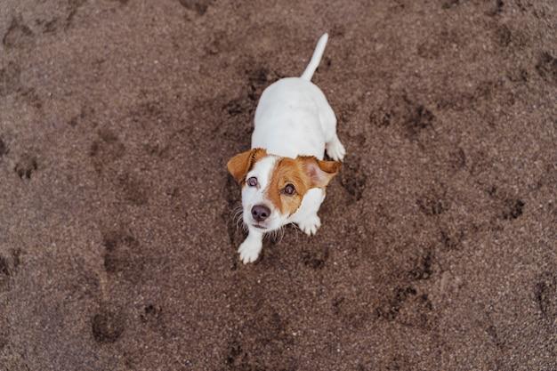 Vista superior do cão pequeno bonito jack russell terrier sentado na areia da praia e olhando para a câmera.
