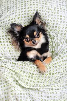 Vista superior do chihuahua dormindo na cama