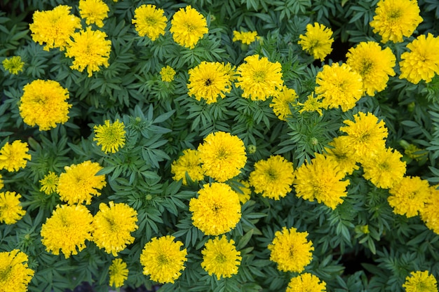 Vista superior do compositae marigold no parque, foco seletivo