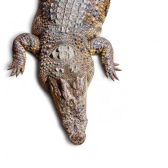 Vista superior do crocodilo