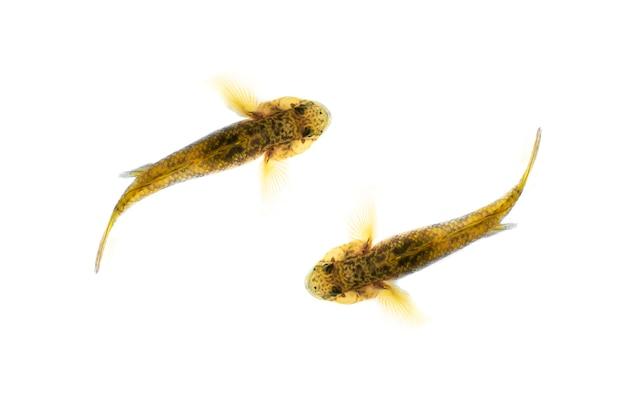 Vista superior do peixe tripletooth gobby no fundo branco