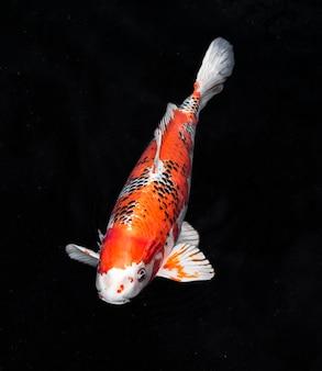 Vista superior dos peixes koi coloridos