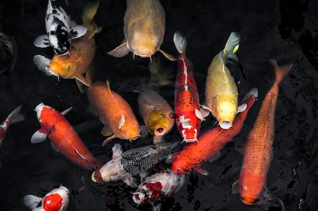 Vista superior dos peixes koi