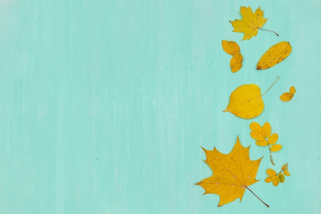 Vista superior em folhas de bordo de outono amarelas sobre fundo de madeira turquesa.
