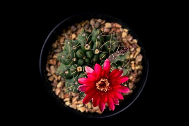 Vista superior flor vermelha de uma planta de cacto gymnocalycium baldianum isolada no fundo preto.