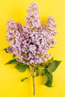 Vista superior flores roxas isoladas na mesa amarela