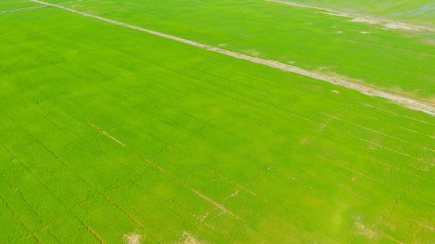 Vista superior no arroz do campo