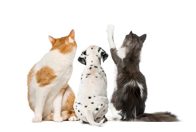 Vista traseira de gatos e cachorrinhos dálmatas, isolado no branco