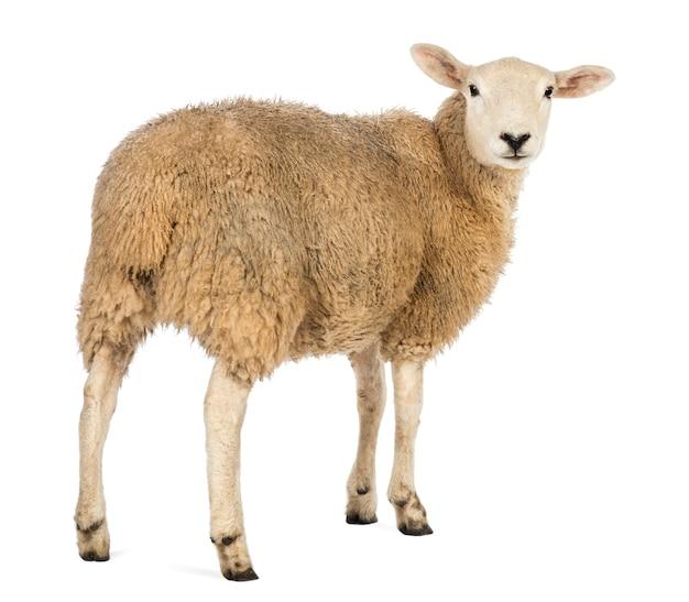 Vista traseira de uma ovelha olhando para trás contra uma superfície branca