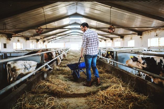 Vista traseira do bonito agricultor caucasiano em jeans e camisa xadrez, empurrando o carrinho de mão com feno e olhando para os bezerros. interior estável.
