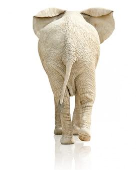 Vista traseira do elefante no fundo branco