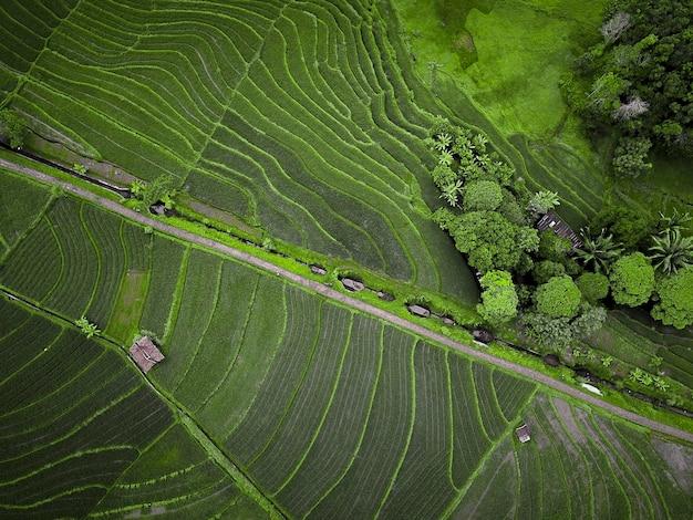 Vistas de campos de arroz com verde e bonito na indonésia