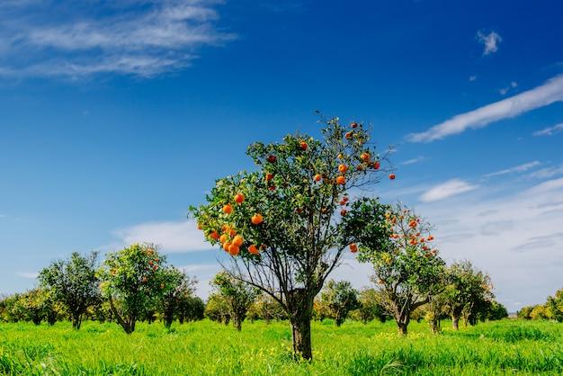 Vistas fantásticas sobre as belas espécies de árvores na itália. sicília