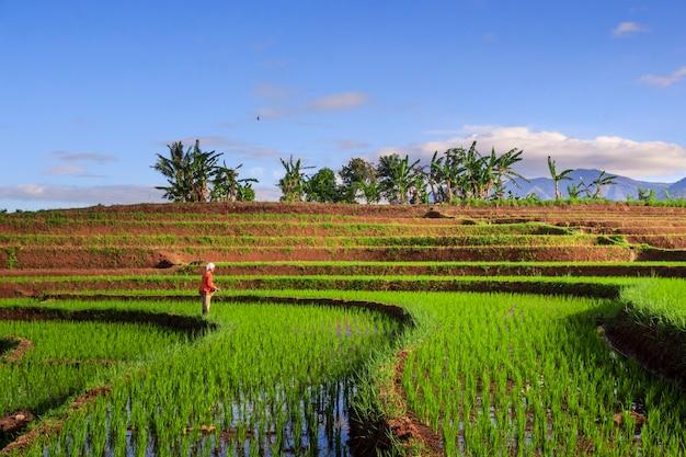 Vistas panorâmicas de campos de arroz com agricultores que trabalham na indonésia