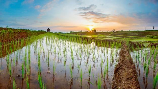 Vistas panorâmicas dos campos de arroz com luz solar no norte de bengkulu