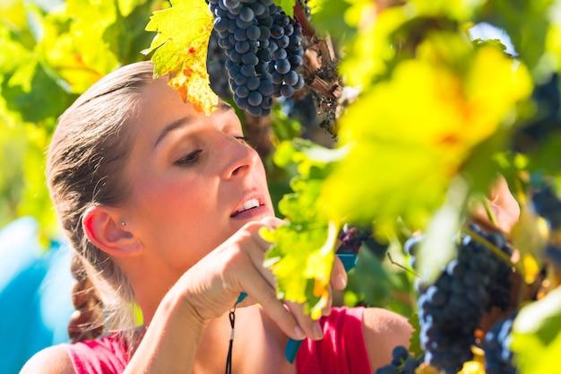 Viticultor colhendo uvas na época da colheita