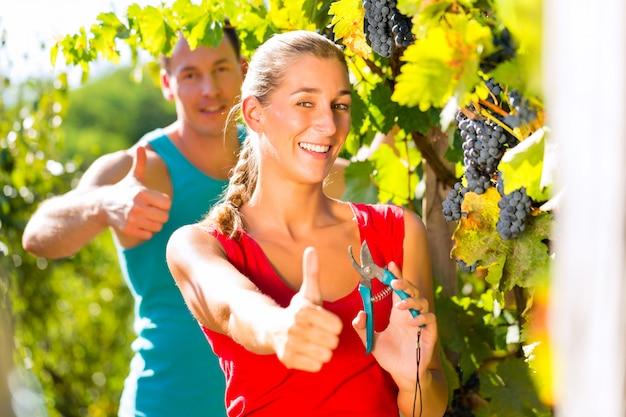 Viticultor mulher e homem colhendo uvas