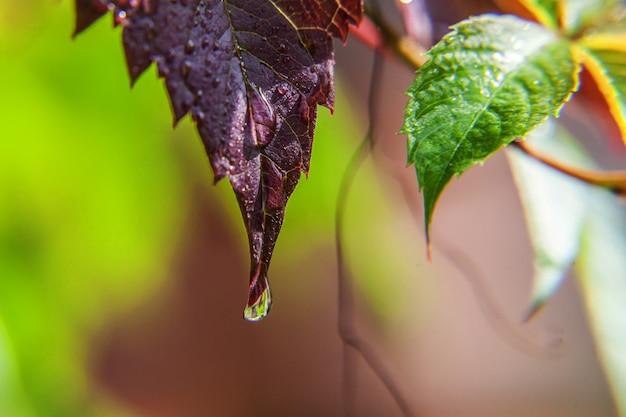 Viticultura indústria vitivinícola. gotas de água de chuva nas folhas de uva verdes no vinhedo
