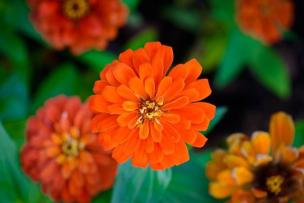 Vivid close up zinnia flor