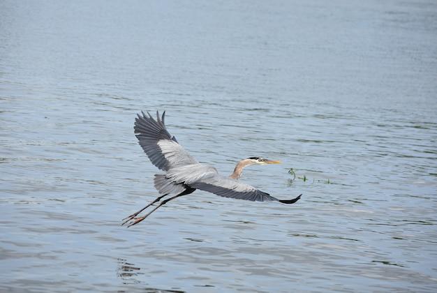 Voando a grande garça azul com as asas estendidas.