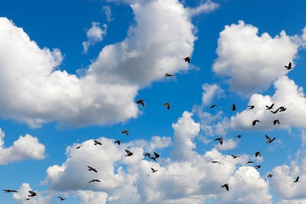 Voando no fundo de um céu azul com nuvens cúmulos brancas, bando de um corvo preto, close up