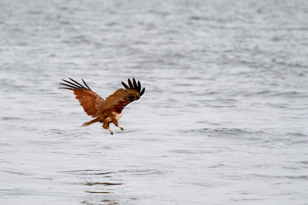 Voar de águia vermelha pousando no mar na natureza na tailândia