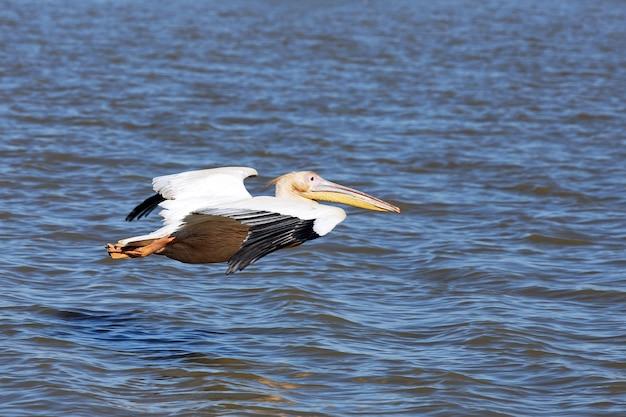 Vôo pelicano