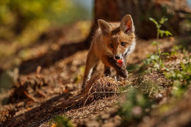 Vulpes de red fox vulpes na floresta europeia