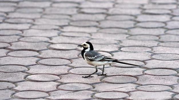 Wagtail bird. verão na cidade de tomsk, sibéria