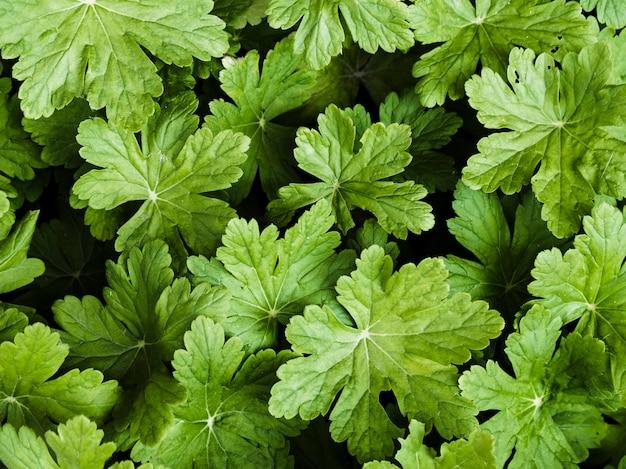 Waldsteinia fragarioides folhas de fundo