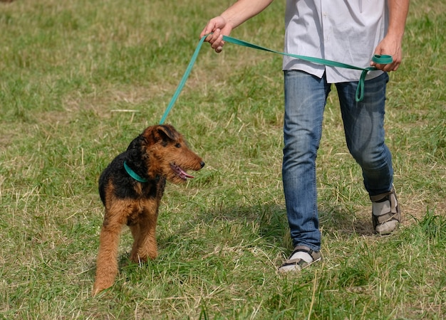 Wales terrier anda na coleira com o proprietário no verão
