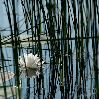 Waterlily no lago dos bosques, ontário