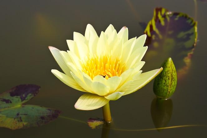 Waterlily ou flor de lótus na lagoa