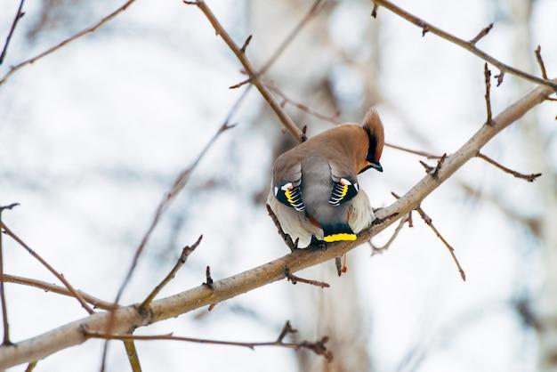 Waxwing bonito senta-se no brunch da árvore. songbird migratório colorido cantar no brunch