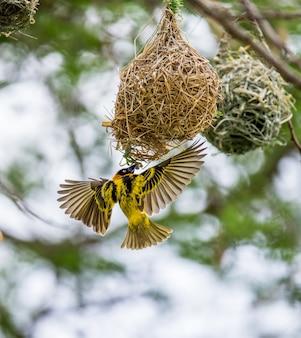 Weaver está construindo um ninho em uma árvore