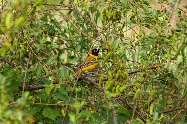 Weaver taveta, o tipo de ave encontrada no quênia e na tanzânia, no sul do parque nacional do tecelão mascarado, na áfrica do sul