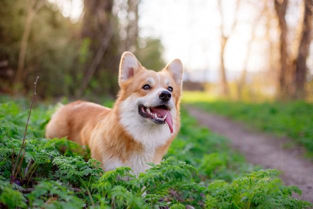 Welsh corgi pembroke cachorro enfiou a língua para fora em uma caminhada em um parque de primavera
