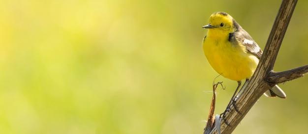 Western yellow wagtail, um pequeno pássaro amarelo com penas cinzentas, pretas e brancas e uma barriga amarela brilhante