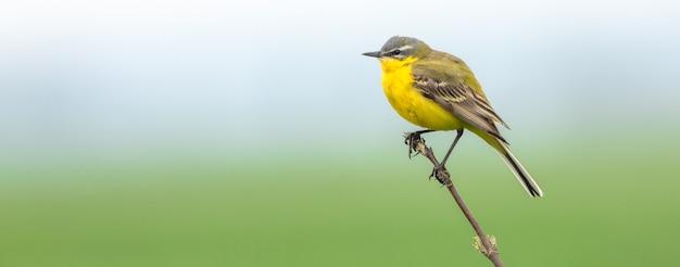 Western yellow wagtail, um pequeno pássaro amarelo com penas cinzentas, pretas e brancas e uma barriga amarela brilhante.