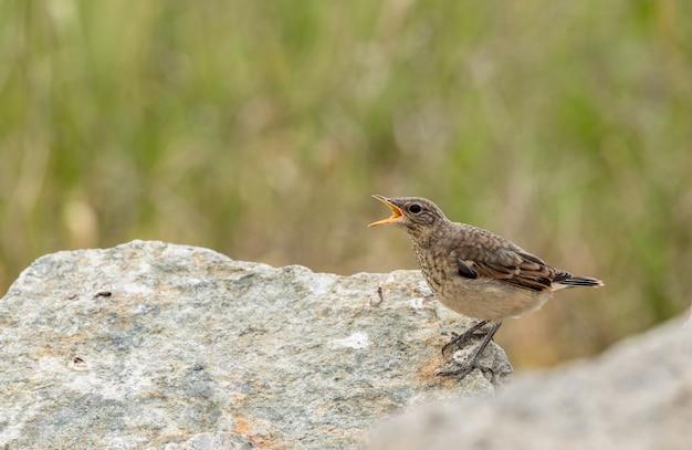 Wheatear do norte juvenil, oenanthe oenanthe. pássaro jovem implorando por comida