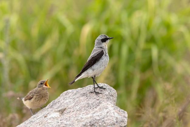 Wheatear do norte - oenanthe oenanthe - pássaro masculino que olha longe de sua prole com fome