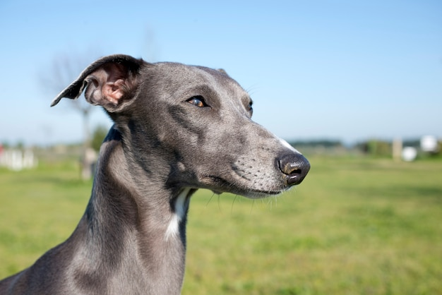 Whippet cinza