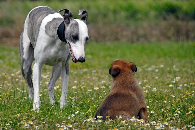 Whippet e filhote de cachorro malinois