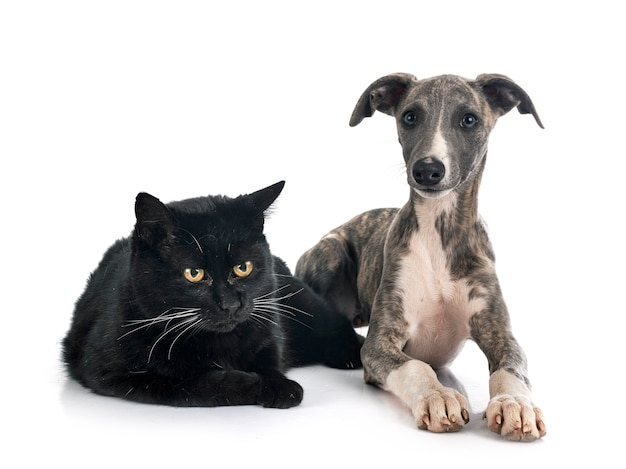 Whippet inglês e gato na frente de fundo branco