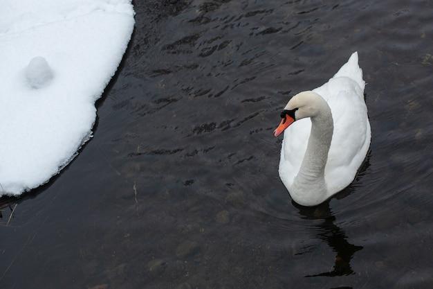 White swan de perto na água perto da margem do lago coberto de neve em um dia frio de inverno