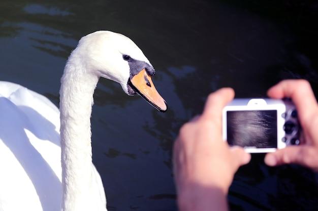 White swan posando para o fotógrafo. amor pela natureza