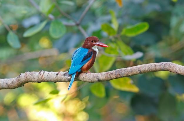 White throated kingfisher halcyon smyrnensis belas aves da tailândia