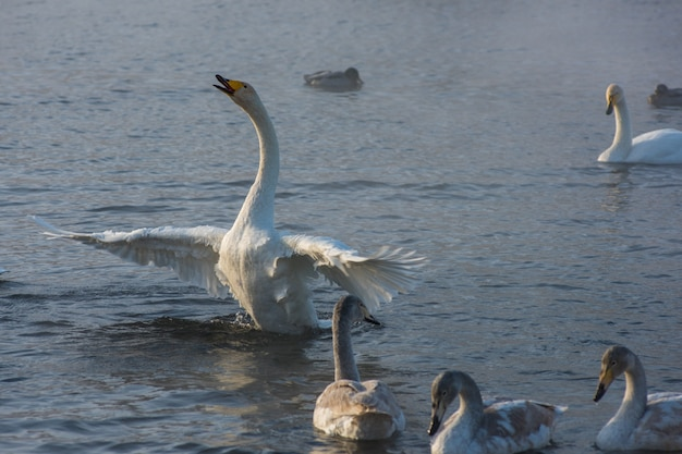 Whooper cisnes nadando no lago