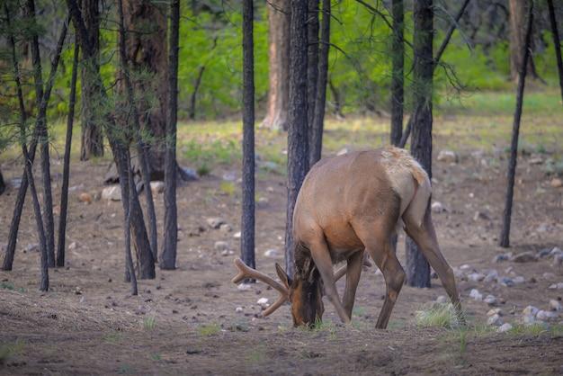Wild elk no parque nacional