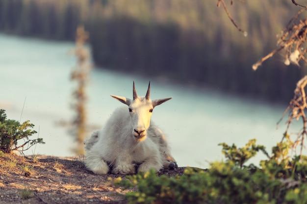 Wild mountain goat nas montanhas cascade